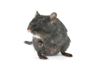 Ratten mit Falle fangen