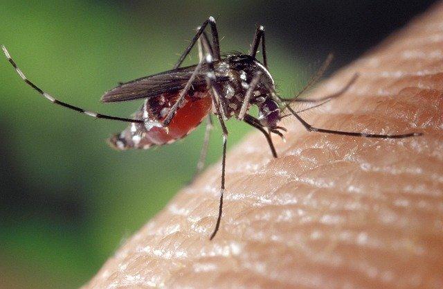 weibliche Mücke mit Mückenfalle