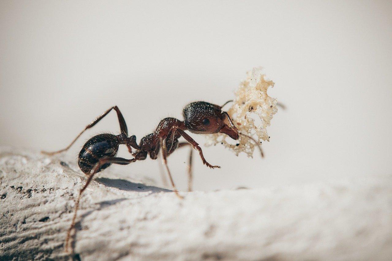 Ameisen können zum Ungeziefer werden