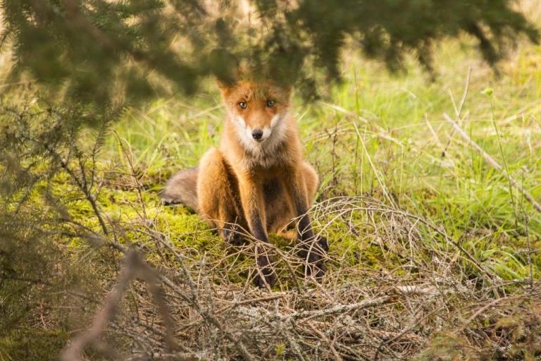 Fuchsfalle