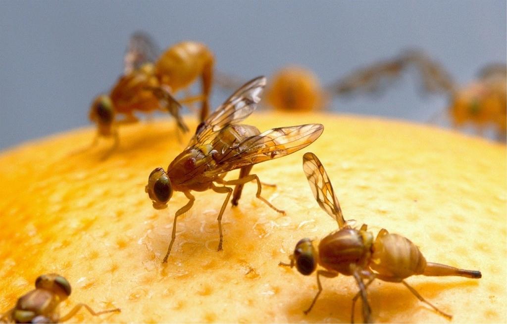 Hausmittel gegen Fruchtfliegen einsetzen